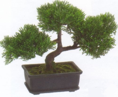 9in Cedar Bonsai