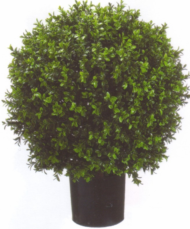 7666  2ft Boxwood Ball Potted