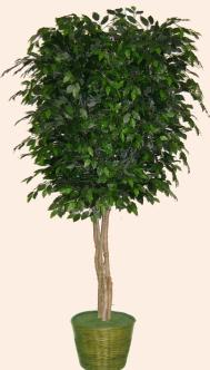 2256 8 ft Ficus Tree